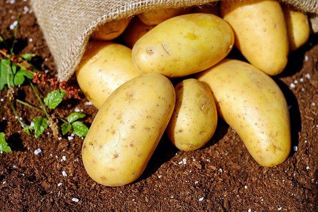 sklizeň brambor.jpg