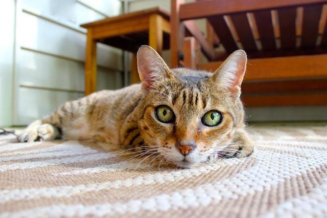 kočka leží na koberci