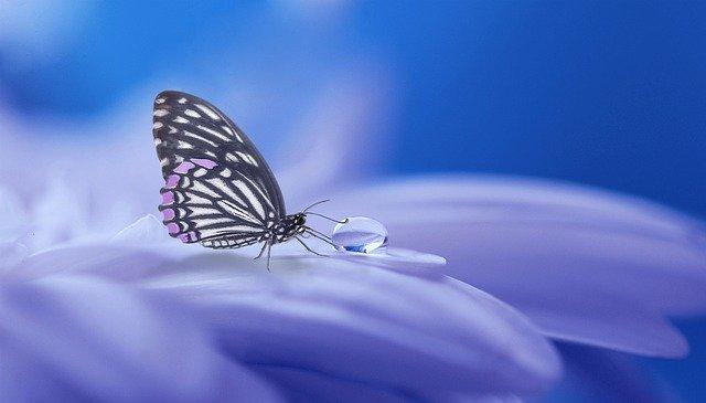 motýl pijící rosu